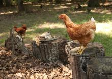 Poultry raised in backyard flocks, such as this Oktibbeha County chicken on July 25, 2015, will be just as vulnerable as commercial flocks to highly pathogenic avian influenza, also known as bird flu, later this year when migratory waterfowl return from nesting grounds in infected states. (Photo by MSU Ag Communications/Kat Lawrence)