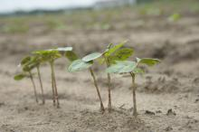Persistent rains are causing planting delays for the third straight year across Mississippi. This cotton plant was growing at the Rodney Foil Plant Science Research Center in Starkville, Mississippi, on May 20, 2015. (Photo by MSU Ag Communications/Kat Lawrence)