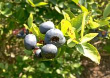 Blueberries are ripe for the picking across much of the state if rains will allow opportunities for harvest. Bushes are loaded with berries, such as these photographed on June 2, 2015, in Poplarville, Mississippi. (Photo by Eric Stafne)
