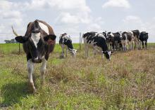 Holstein cows graze at the Joe Bearden Dairy Research Center in Sessums, Mississippi, on June 11, 2015. Increased production and international competition are bringing down milk prices for dairy producers across the state. (Photo by MSU Ag Communications/Kat Lawrence)