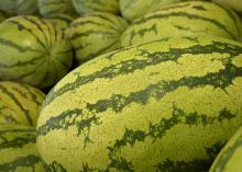 These watermelons at Charlie's U-Pik near Lucedale, Mississippi, are among the earliest in the state on June 3, 2015. The majority of Mississippi's 3,000 acres of commercial watermelons will be ripe the Fourth of July, but growers will be harvesting into August. (Photo by MSU Ag Communications/Kevin Hudson)