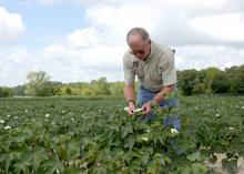 Gary Lawrence, Mississippi State University nematologist, examines cotton growing at the MSU R.R. Foil Plant Science Research Center in Starkville, Mississippi, on Aug. 11, 2015. (Photo by MSU Ag Communications/Kat Lawrence)