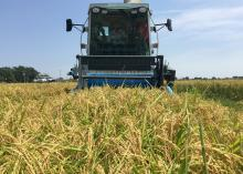 Workers harvest rice on Aug. 24, 2015, at the Mississippi State University Delta Research and Extension Center in Stoneville, Mississippi. (Photo by MSU Delta Research and Extension Center/Bobby Golden)
