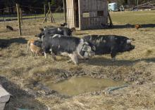 Pigs and hogs feed at Palo Alto Farms in West Point, Mississippi in this file photo. Consumer preference is one reason interest has been growing in people in the state raising pigs on pastureland for their own consumption. (File photo by MSU Ag Communications/Kevin Hudson)