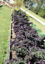 Redbor kale are long-lived plants. Their frilly leaves are a solid purple-red that intensifies as the temperatures get colder during the winter. (Photo by MSU Extension Service/Gary Bachman)