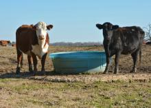 Cattle at the Henry H. Leveck Animal Research Center at Mississippi State University benefit from a concrete pad under the water trough in their pasture on Jan. 28, 2016. Concrete pads can reduce muddy conditions cattle endure during each Mississippi winter. (Photo by MSU Extension Service/Linda Breazeale)