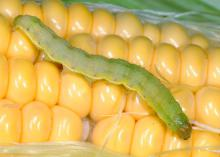 The larvae of tomato fruitworms, also known as corn earworms and cotton bollworms, are robust caterpillars an inch or more long. Body color varies greatly, depending on what they eat. (Photo by MSU Extension Service/Blake Layton)