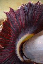 The titan arum's spathe opens for one day every seven to 10 years. The leafy, petal-like structure, which contains both male and female flowers, emits a strong odor similar to decaying meat to attract the plant's native pollinators. (Photo by MSU Extension Service/Susan Collins-Smith)