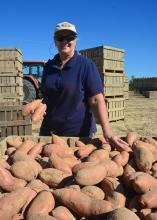 The best way to get Jan Cook Houston off her tractor may be to start taking pictures of small or scuffed sweet potatoes destined for processing instead of the large, blemish-free No. 1 grade sweet potatoes. This photo was taken Sept. 20, 2016, in a Vardaman, Mississippi field. (Photo by MSU Extension Service/Linda Breazeale)