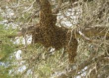 Honey bee swarms, such as this one found in a cedar tree, are part of the natural process colonies go through when they outgrow their current living space. (MSU Extension Service/File Photo)