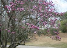 Saucer magnolias are considered small trees, but some can grow quite large. Control the size of the plant by pruning immediately after flowering. (Photo by MSU Extension/Gary Bachman)