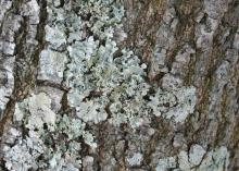 Lichens are found in several forms in the landscape, including wavy folds that resemble a crumpled sheet. (Photo by MSU Extension Service/Gary Bachman)