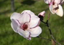 The huge flowers on saucer magnolias can reach up to 10 inches across and can be white, pink or bold purple, depending on the variety. (Photo by MSU Extension Service/Gary Bachman)