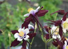 Columbines, such as this Aquilegia Swan violet and white, look fragile but are tolerant of many environments. They thrive and flower profusely when planted in full or partial shade (Photo by MSU Extension Service/Gary Bachman)