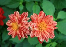 The Dahlietta series of dahlias has a small, compact growth habit and many unique colors, such as this bicolor selection. (Photo by MSU Extension Service/Gary Bachman)