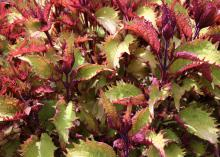 Sun coleus has moved from an obscure shade plant to a popular full sun plant that thrives in Mississippi summers. Plant breeders have developed rich and highly variegated sun coleus selections. (Photo by MSU Extension Service/Gary Bachman)