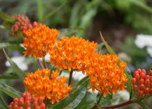 Butterfly weed, also commonly known as milkweed, is beautiful, low maintenance and deer resistant. (Photo by MSU Extension Service/Gary Bachman)