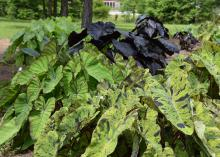 Colocasia variety trials, including Mojito, Blue Hawaii and Black Coral, are being grown at the Mississippi State University Coastal Research and Extension Center. (Photo by MSU Extension Service/Gary Bachman)