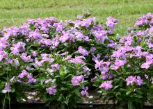 Colorful vincas, such as these Cora lavender plants, thrive in Mississippi's hot summer gardens, especially when planted in well-drained raised beds. (Photo by MSU Extension Service/Gary Bachman)