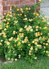 Butter Cream lantanas are vigorous and low growing with a dense, trailing habit that makes an excellent groundcover. (Photo by MSU Extension Service/Gary Bachman)