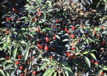 Ornamental peppers such as this Black Olive perform very well in the Mississippi dog days of summer. Dark, purplish-black fruit clusters mature to bright red and nicely contrast with the dark foliage. (Photo by MSU Extension Service/Gary Bachman)