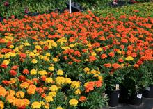 The rich colors of Janie Deep Orange and other marigolds make them ideal companion plants for fall mixed containers and landscape beds. (Photo by MSU Extension Service/Gary Bachman)
