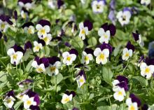 The viola is a favorite cool-season bedding plant because it is colorful, tough and cold tolerant. (Photo by MSU Extension Service/Gary Bachman)