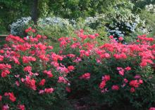 Prune Knockout roses in the spring to keep their shape and encourage the prolific blooming that give these bushes their name. (Photo by MSU Extension Service/Gary Bachman)