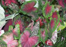 With a range of color from solid reds, greens and whites to extravagant combinations of spots, blotches and stripes, caladiums are great potted, indoor plants for the holidays. (Photo by MSU Extension/Gary Bachman)