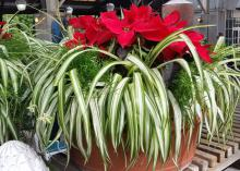 A poinsettia is complemented by a variegated spider plant and randomly placed, small asparagus ferns that fill in open spaces in this unique holiday decoration. (Photo by MSU Extension/Gary Bachman)