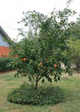 Satsuma oranges are easy to grow in the landscape or in containers. They produce well in Mississippi's climate. (Photo by MSU Extension/Gary Bachman)