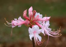 Native azaleas, such as this piedmont or honeysuckle azalea, are among the first plants to bloom in the spring. (Photo by MSU Extension/Gary Bachman)