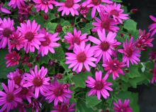 Use Senetti pericallis such as this magenta selection like mums in the fall. They look great as a single container plant or even better in a combination container. (Photo by MSU Extension/Gary Bachman)