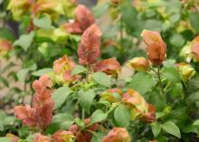 Similar to the tropical yellow shrimp plant, Mexican shrimp plants develop on new growth and produce red bracts. They are optimal for cutting and enjoying indoors. (Photo by MSU Extension/Gary Bachman)