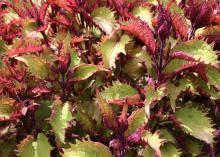 A 2010 Mississippi Medallion winner, the Electric Lime coleus is durable and pairs well with spring and fall foliage. (File photo by MSU Extension)