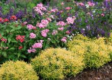 Gold Threads Alternanthera has banana-yellow foliage with delicate green lacing. It forms small mounds and can be used to edge a landscape bed. (Photo by MSU Extension/Gary Bachman)