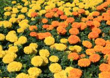 American marigolds are often called African marigolds. The Antigua series is popular, such as this orange-and-yellow variety. (Photo by MSU Extension/Gary Bachman)