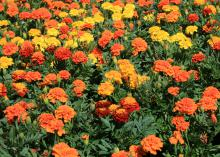 French marigolds are smaller and have more variety than American marigolds. These vivid colors and prolific flowers make it obvious why Janie is a popular variety. (Photo by MSU Extension/Gary Bachman)