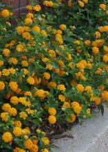 New Gold lantana is a vigorous and low growing and trailing plant with outstanding golden-yellow flowers. (Photo by MSU Extension/Gary Bachman)