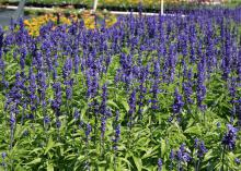 Although perennial salvias tend to be more subdued than annual varieties, Victoria Blue salvia is worth planting. It displays rich, deep blue flowers on spikes all summer. (Photo by MSU Extension/Gary Bachman)