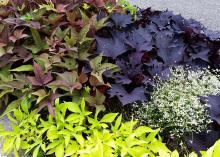 The deep purple of a Sweet Caroline Bewitched sweet potato vine grows alongside the Bright Ideas Rusty Red and Bright Ideas Lime varieties, with Diamond Frost Euphorbia providing a pop of tiny white flowers. (Photo by MSU Extension/Gary Bachman)
