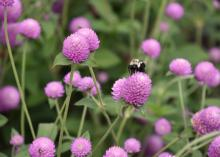 Ping Pong is a new gomphrena series that delivers a blast of color in any landscape bed. (Photo by MSU Extension/Gary Bachman)