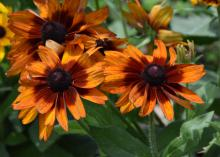 Cherokee Sunset produces large flowers that are a mix of single and doubles. The warm, autumnal colors on sturdy stems make them a good choice for use in fall indoor arrangements. (Photo by MSU Extension/Gary Bachman)