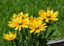 The distinctive blooms of Rudbeckia Prairie Sun are large and make fantastic cut flowers to bring indoors. (Photo by MSU Extension/Gary Bachman)