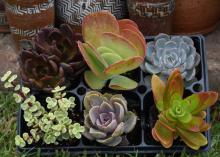 Succulents, plants with soft, juicy leaves and stems, are good choices for low-water-use gardening. (Photo by MSU Extension Service/Gary Bachman)