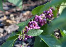 Beautyberries come in more colors than purple. Welch's Pink has pastel pink berries that whiten in the fall. (Photo by MSU Extension/Gary Bachman)