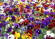 These Matrix Blotch pansies demonstrate the plant's ability when massed together to create an impressive, colorful landscape carpet. (Photo by MSU Extension Service/Gary Bachman)
