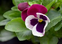 The Rose Wing Matrix pansy lets Mississippi State University Bulldog fans show off their school colors. (Photo by MSU Extension Service/Gary Bachman)