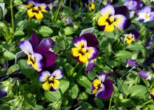 The Sorbet series of violas, such as this Midnight Glow selection, resist stretching and stay compact through winter and even as temperatures rise in the spring. (Photo by MSU Extension/Gary Bachman)