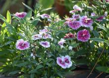 Dianthus is a great choice for fall garden color. This bicolor Telstar Pink picottee selection is perfect for mass planting in the landscape. (Photo by MSU Extension/Gary Bachman)
